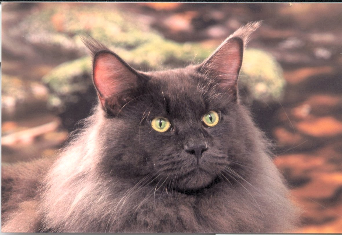 Lone Star Maine Coons